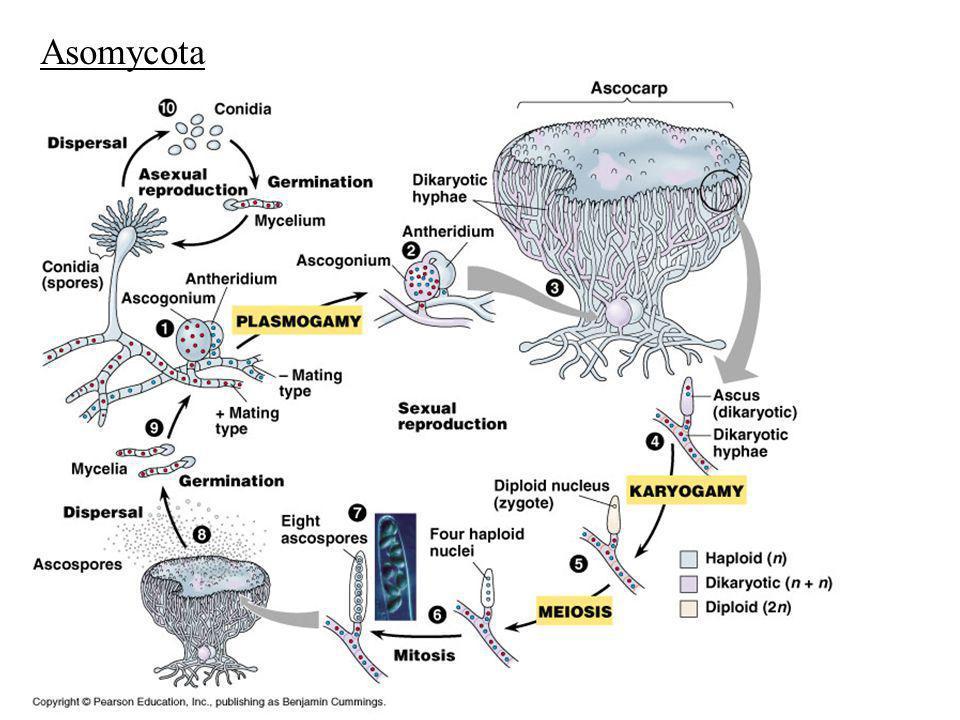 Asomycota