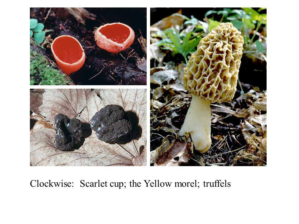 Clockwise: Scarlet cup; the Yellow morel; truffels