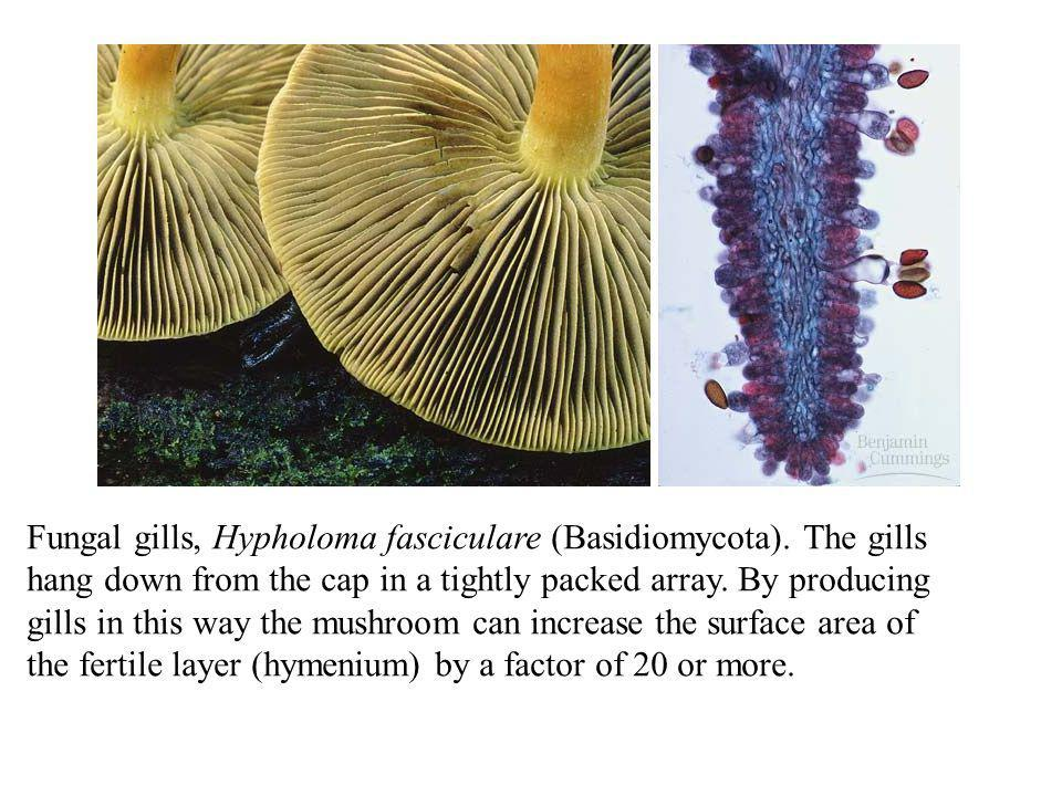 Fungal gills, Hypholoma fasciculare (Basidiomycota). The gills hang down from the cap in a tightly packed array. By producing gills in this way the mu