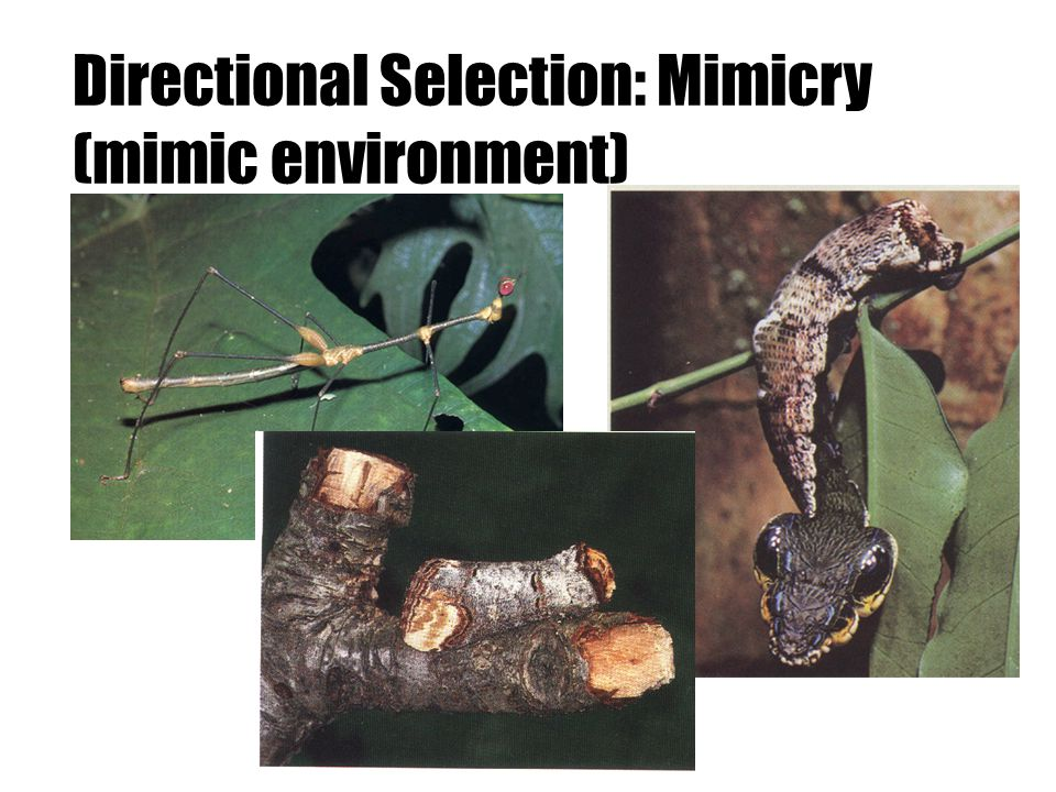 Directional Selection Neck of Giraffe Antibiotic resistance of bacteria Moth color (melanin) Camouflage/Mimics Many sexually selected traits