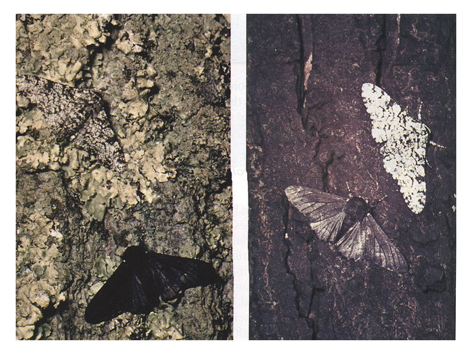 Example #1: Escaping Predation Peppered Moth (see video clip) Early trees had light-colored bark Only the light-colored moths survived. Selection was