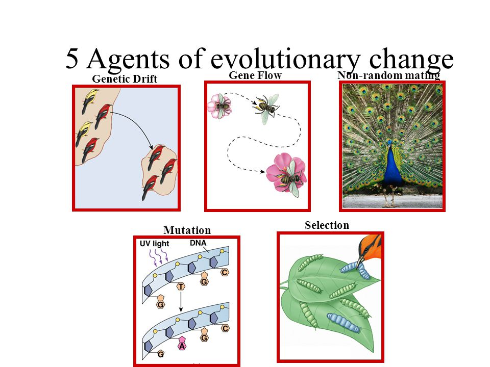 Evolution of populations Evolution = change in allele frequencies in a population –hypothetical: what conditions would cause allele frequencies to not