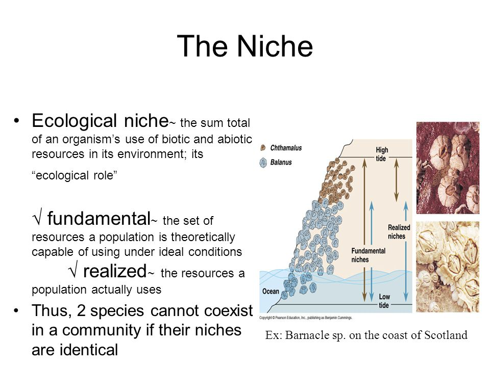 The Niche Ecological niche ~ the sum total of an organism's use of biotic and abiotic resources in its environment; its ecological role √ fundamental ~ the set of resources a population is theoretically capable of using under ideal conditions √ realized ~ the resources a population actually uses Thus, 2 species cannot coexist in a community if their niches are identical Ex: Barnacle sp.