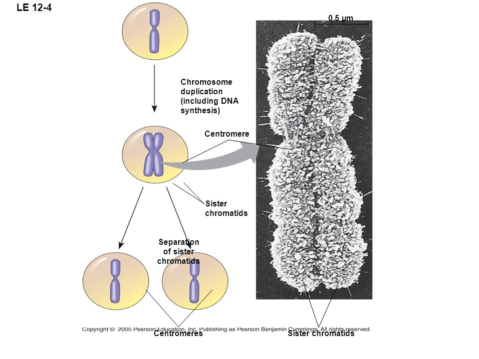 LE 12-4 Chromosome duplication (including DNA synthesis) 0.5 µm Centromere Sister chromatids Separation of sister chromatids CentromeresSister chromatids