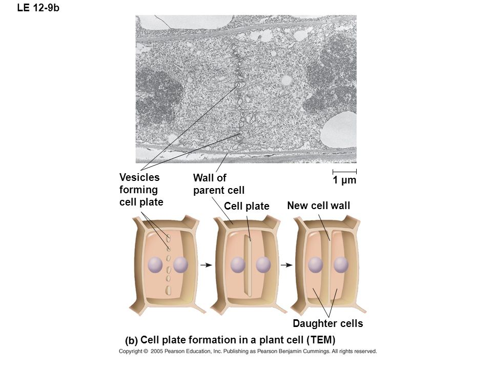 LE 12-9b 1 µm Daughter cells Cell plate formation in a plant cell (TEM) New cell wall Cell plate Wall of parent cell Vesicles forming cell plate