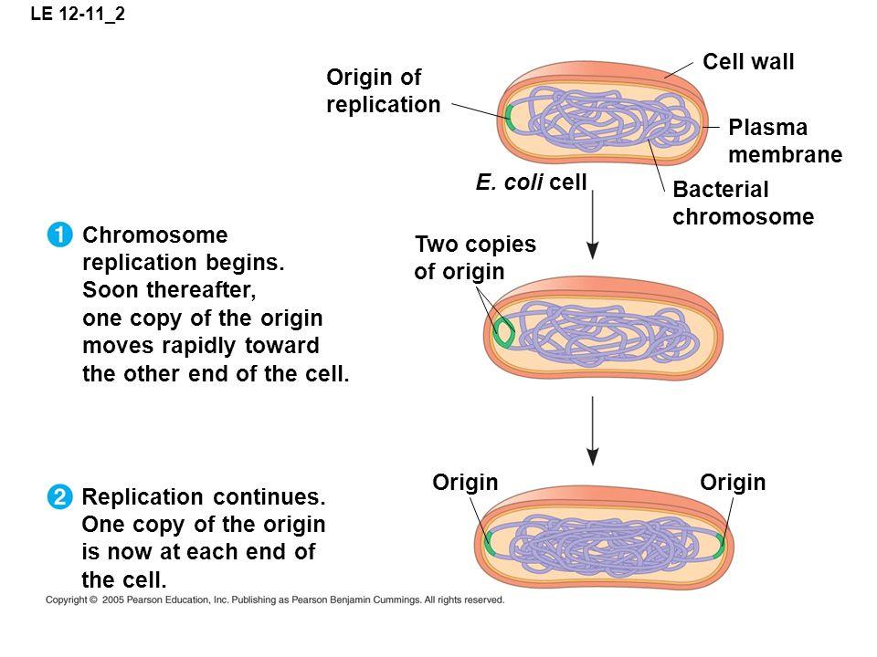 LE 12-11_2 Origin of replication Cell wall Plasma membrane Bacterial chromosome E.