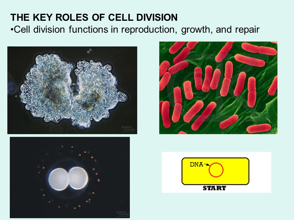 Review the details of each mitotic phase animal cells (Know the characteristics of the phases) Mitosis flash animation (Purves)