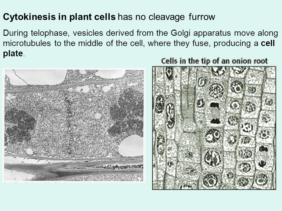 In animal cells, cytokinesis occurs by cleavage The cleavage furrow, which begins as a shallow groove in the cell surface.