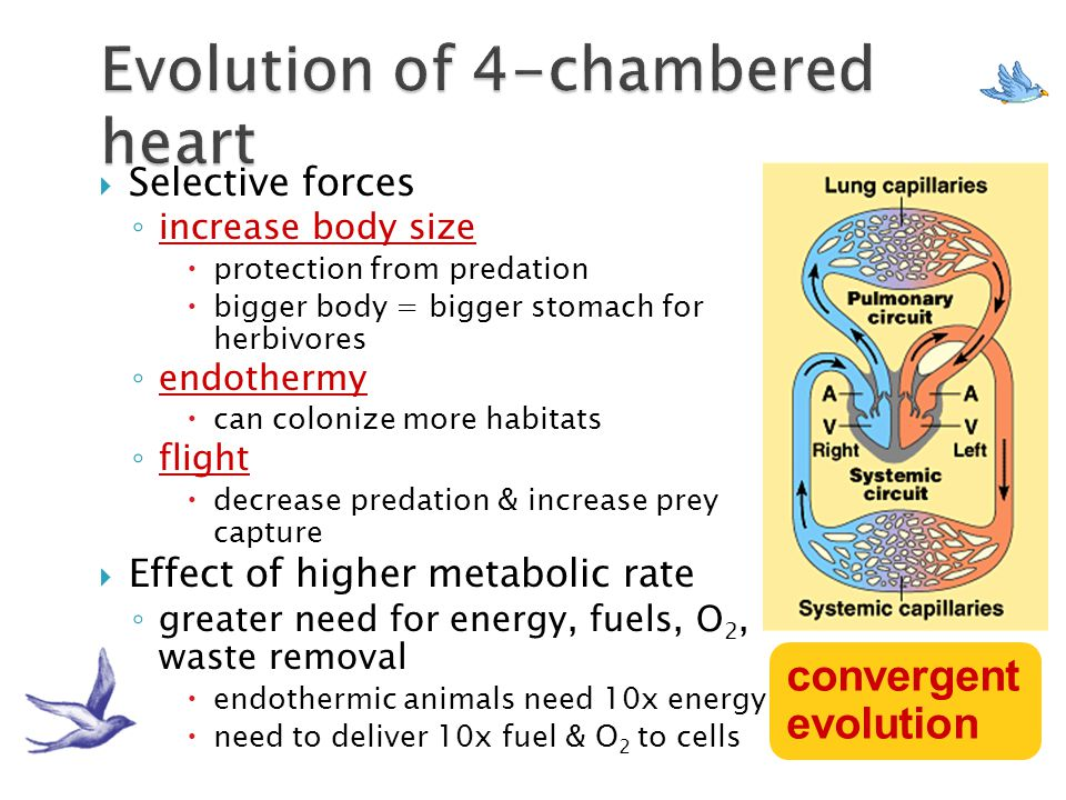  Fish: 2-chambered heart; single circuit of blood flow  Amphibians: 3-chambered heart; 2 circuits of blood flow- pulmocutaneous (lungs and skin); sy