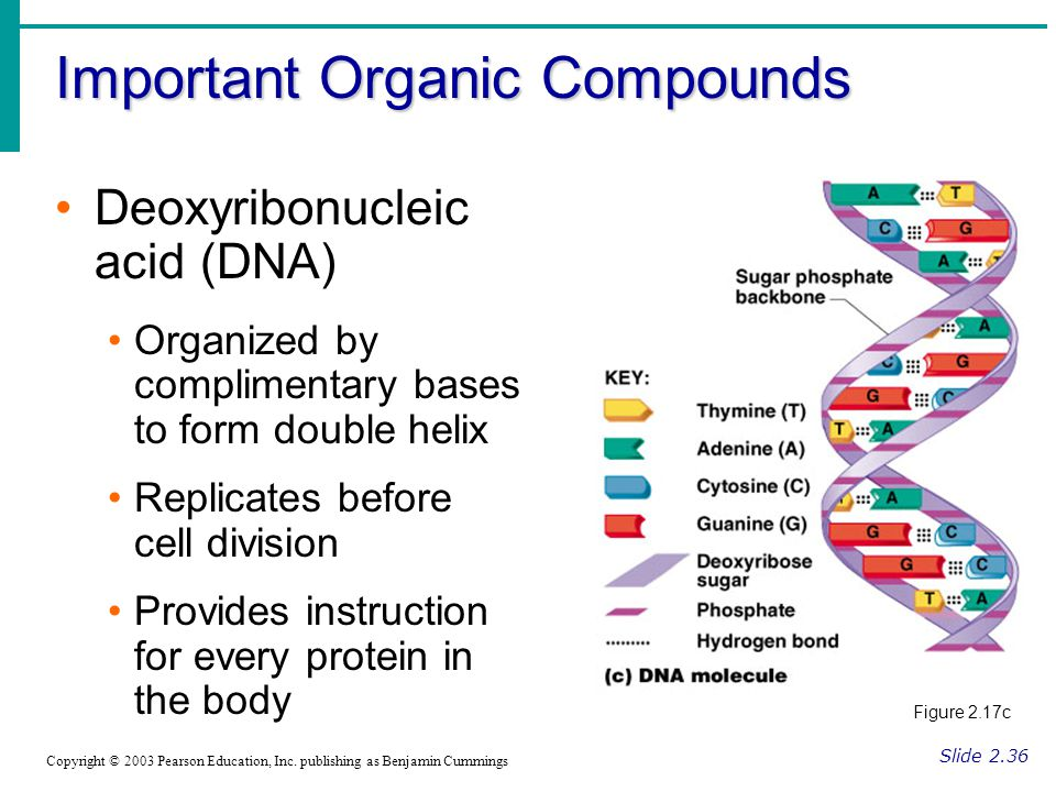 Important Organic Compounds Slide 2.36 Copyright © 2003 Pearson Education, Inc. publishing as Benjamin Cummings Deoxyribonucleic acid (DNA) Organized