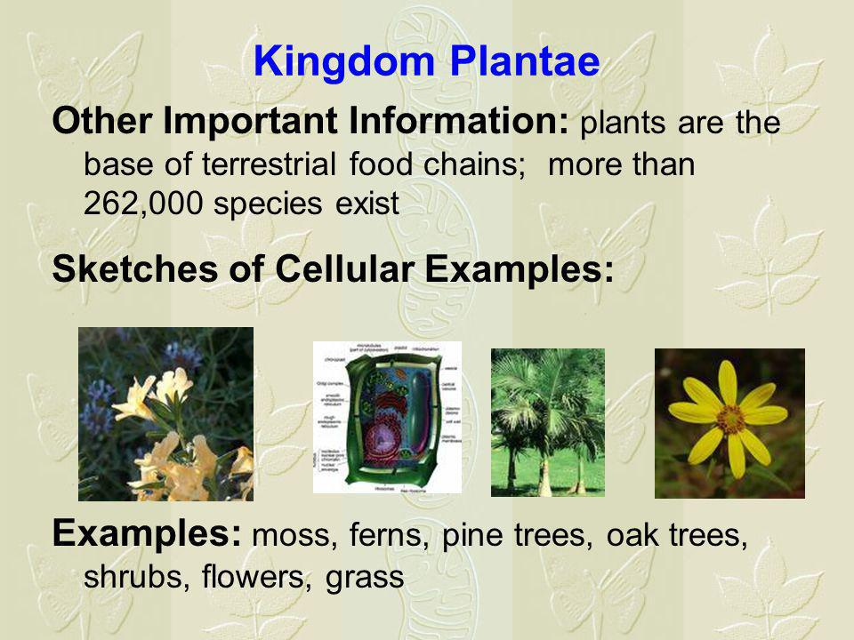 Kingdom Plantae Other Important Information: plants are the base of terrestrial food chains; more than 262,000 species exist Sketches of Cellular Exam