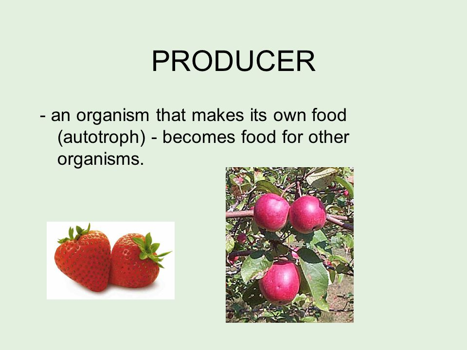 PRODUCER - an organism that makes its own food (autotroph) - becomes food for other organisms.