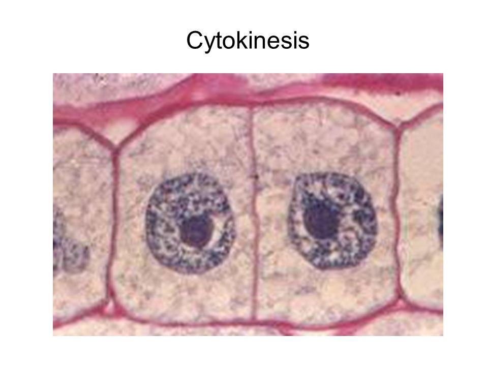 Cytokinesis