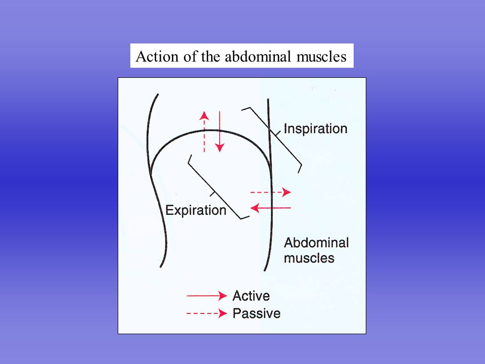 Perfect Lung Action of the abdominal muscles