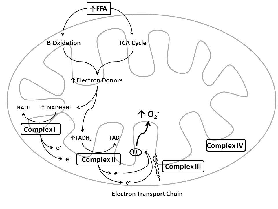 Β Oxidation ↑Electron Donors Electron Transport Chain ↑FADH 2 ↑ O 2 - TCA Cycle ↑ FFA ↑ NADH+H + NAD + e-e- Complex I Complex III Complex II Complex IV Q-Q- e-e- e-e- e-e- FAD