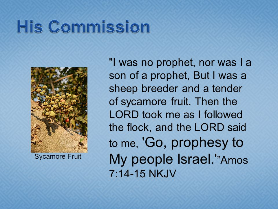 I was no prophet, nor was I a son of a prophet, But I was a sheep breeder and a tender of sycamore fruit.