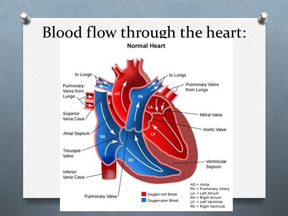 Blood flow through the heart: