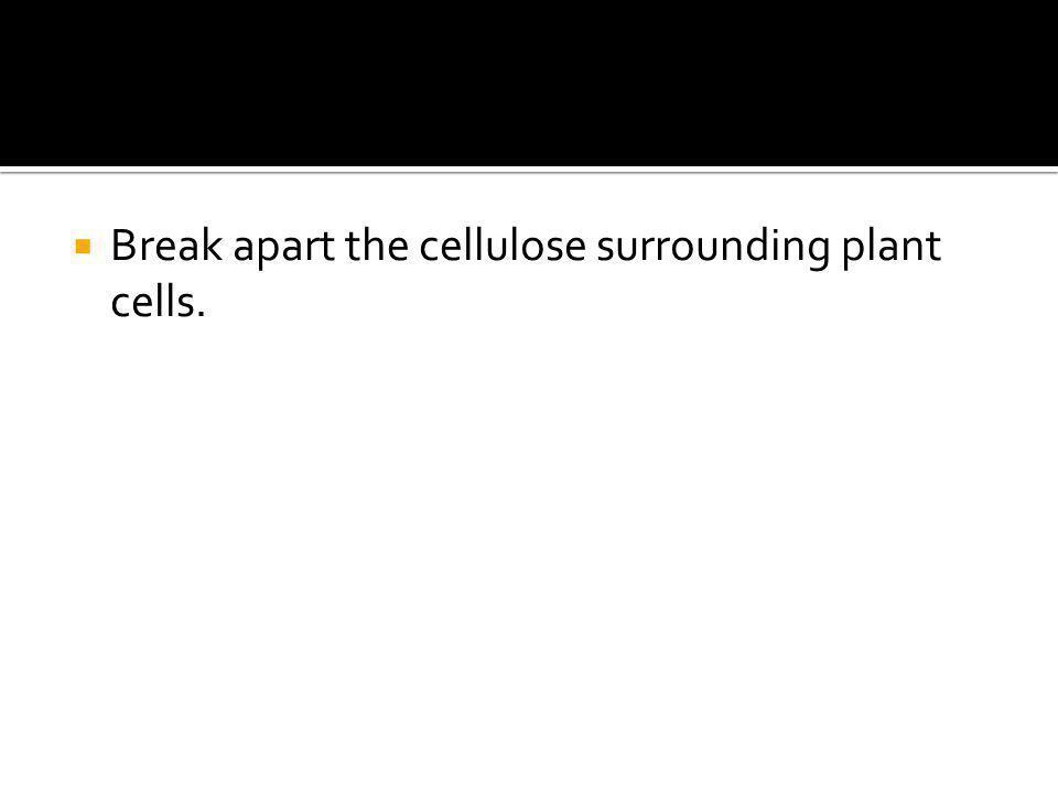  Break apart the cellulose surrounding plant cells.