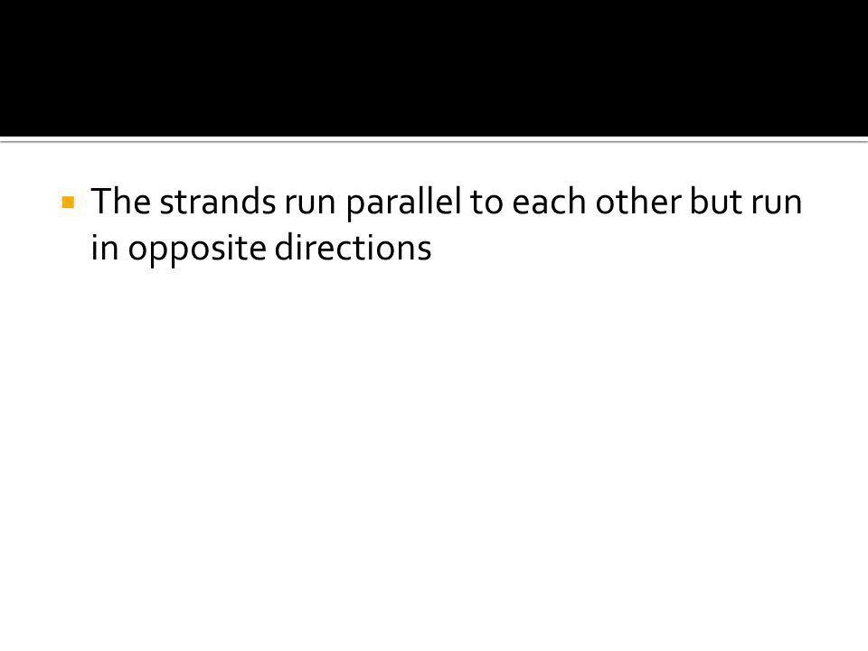  The strands run parallel to each other but run in opposite directions