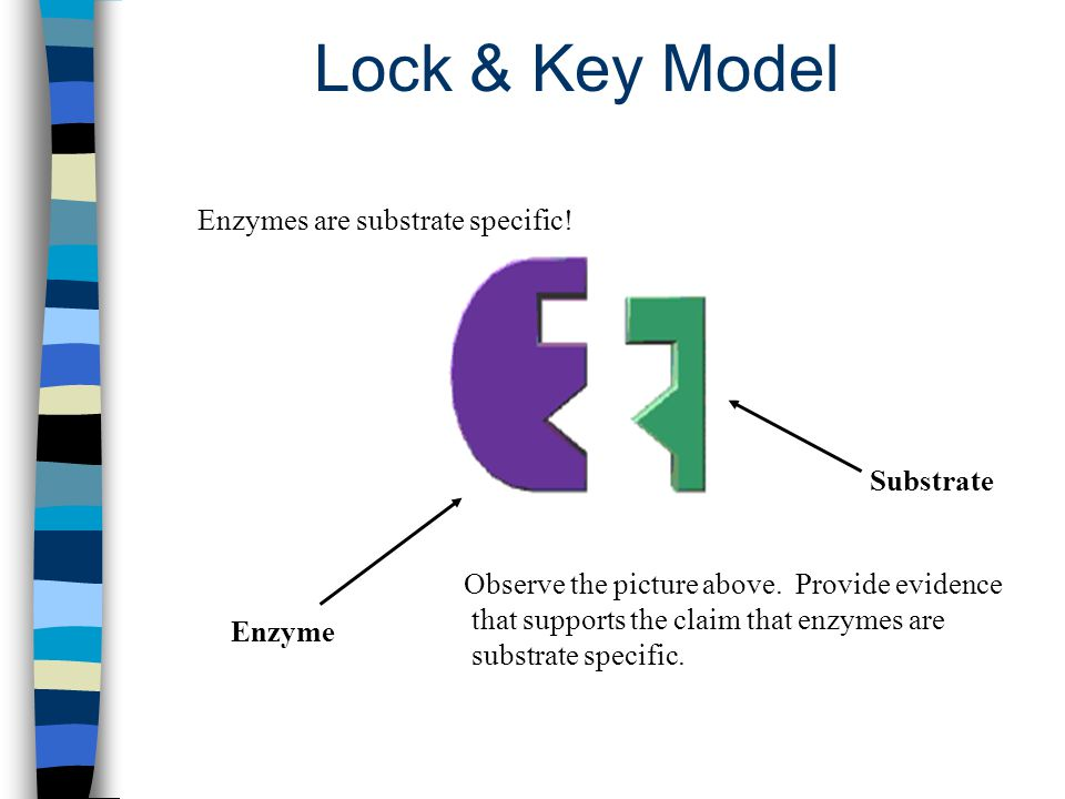 Lock & Key Model Enzyme Substrate Enzymes are substrate specific! Observe the picture above. Provide evidence that supports the claim that enzymes are