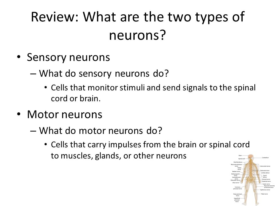 Review: What are the two types of neurons.Sensory neurons – What do sensory neurons do.