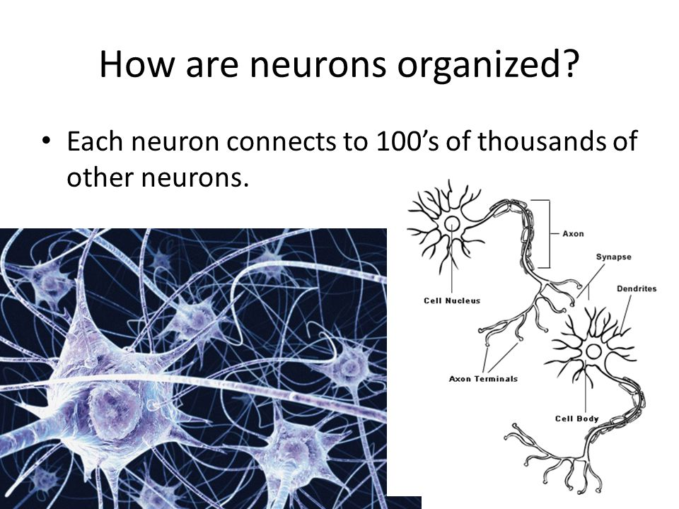 How are neurons organized? Each neuron connects to 100's of thousands of other neurons.