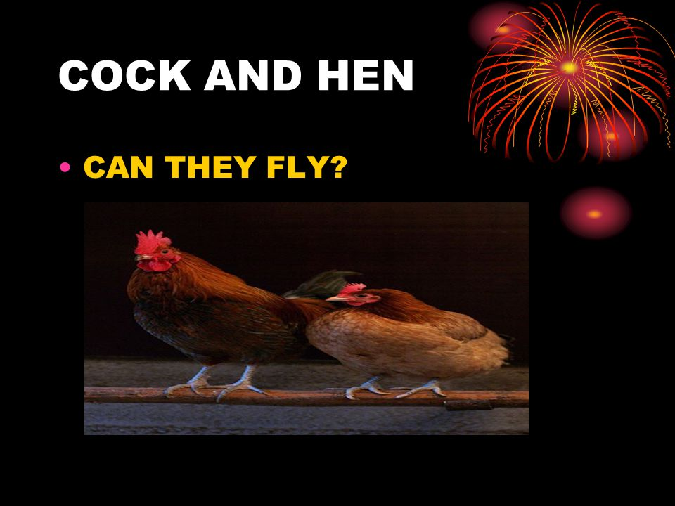 COCK AND HEN CAN THEY FLY