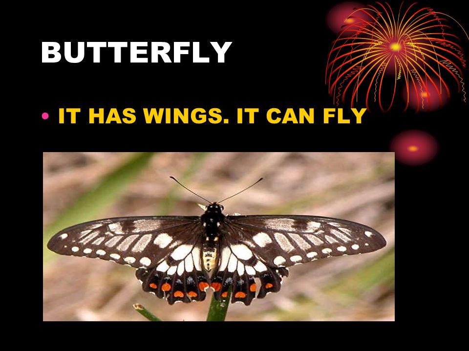 BUTTERFLY IT HAS WINGS. IT CAN FLY
