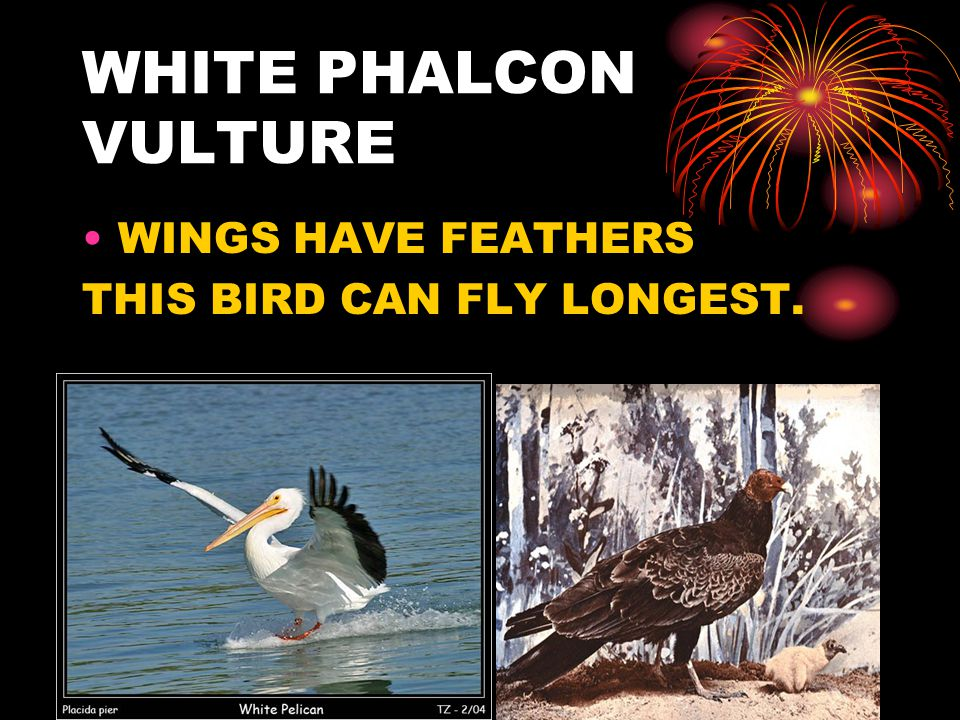WHITE PHALCON VULTURE WINGS HAVE FEATHERS THIS BIRD CAN FLY LONGEST.