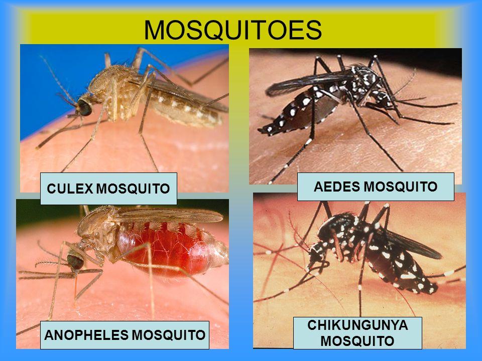 MOSQUITOES ANOPHELES MOSQUITO CULEX MOSQUITO AEDES MOSQUITO CHIKUNGUNYA MOSQUITO