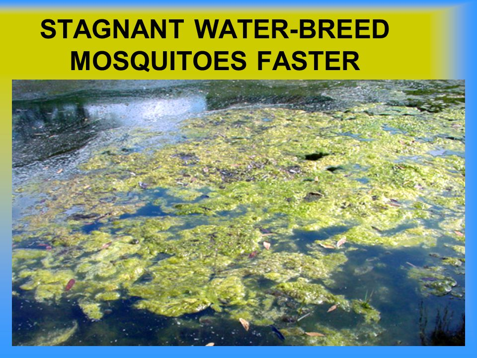 STAGNANT WATER-BREED MOSQUITOES FASTER