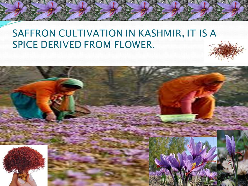 SAFFRON CULTIVATION IN KASHMIR, IT IS A SPICE DERIVED FROM FLOWER.
