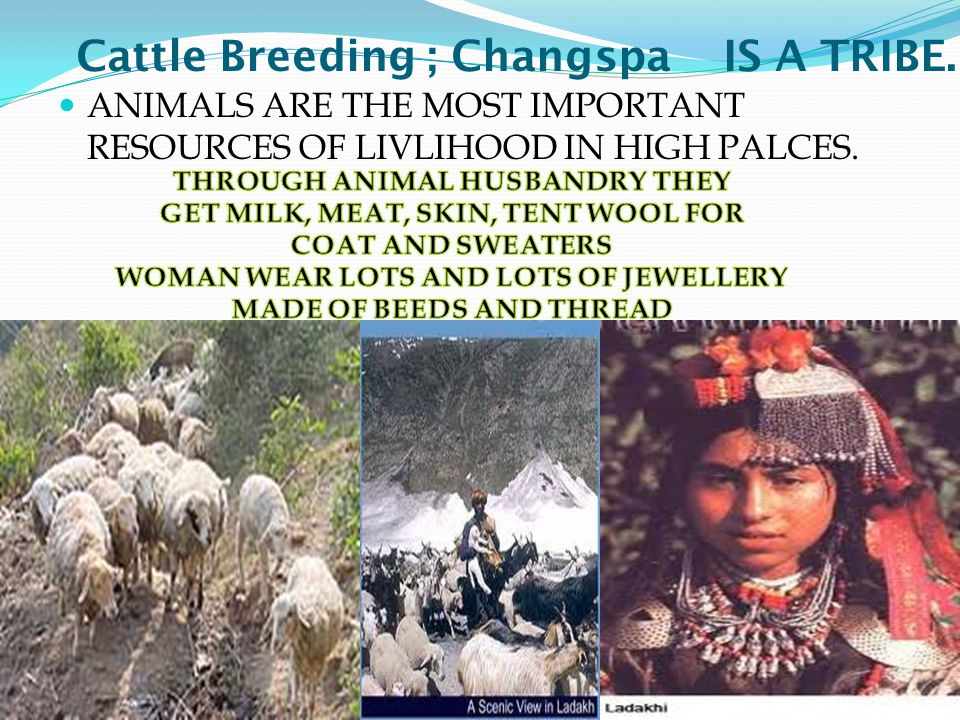 Cattle Breeding ; Changspa IS A TRIBE.