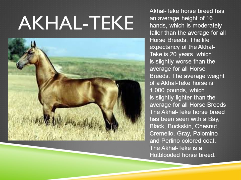 AKHAL-TEKE Akhal-Teke horse breed has an average height of 16 hands, which is moderately taller than the average for all Horse Breeds.