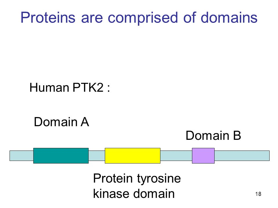 18 Proteins are comprised of domains Domain B Protein tyrosine kinase domain Domain A Human PTK2 :