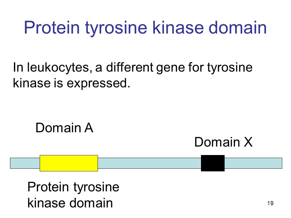 19 Protein tyrosine kinase domain In leukocytes, a different gene for tyrosine kinase is expressed.