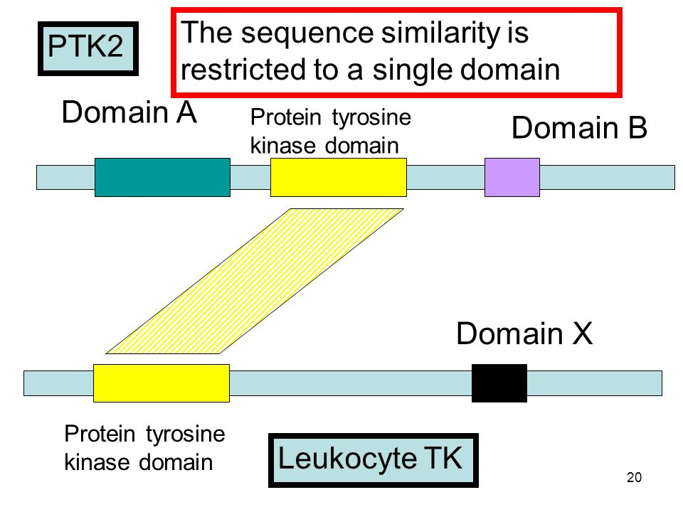 20 Domain X Protein tyrosine kinase domain Domain B Protein tyrosine kinase domain Domain A Leukocyte TK PTK2 The sequence similarity is restricted to a single domain
