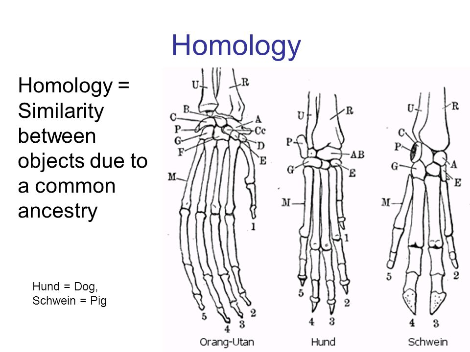 Homology Homology = Similarity between objects due to a common ancestry Hund = Dog, Schwein = Pig
