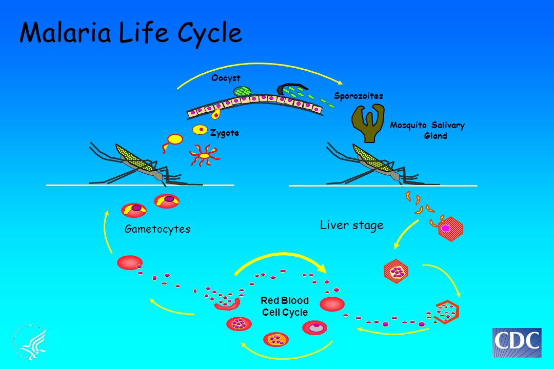 Liver stage Sporozoites Mosquito Salivary Gland Malaria Life Cycle Gametocytes Oocyst Red Blood Cell Cycle Zygote