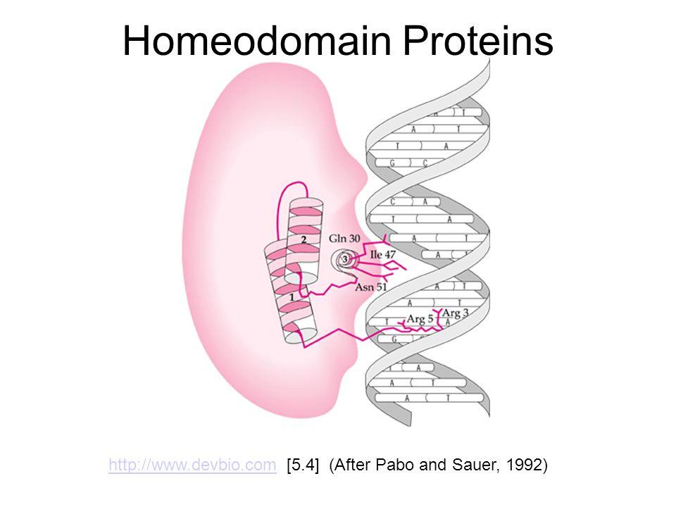 Homeodomain Proteins http://www.devbio.comhttp://www.devbio.com [5.4] (After Pabo and Sauer, 1992)