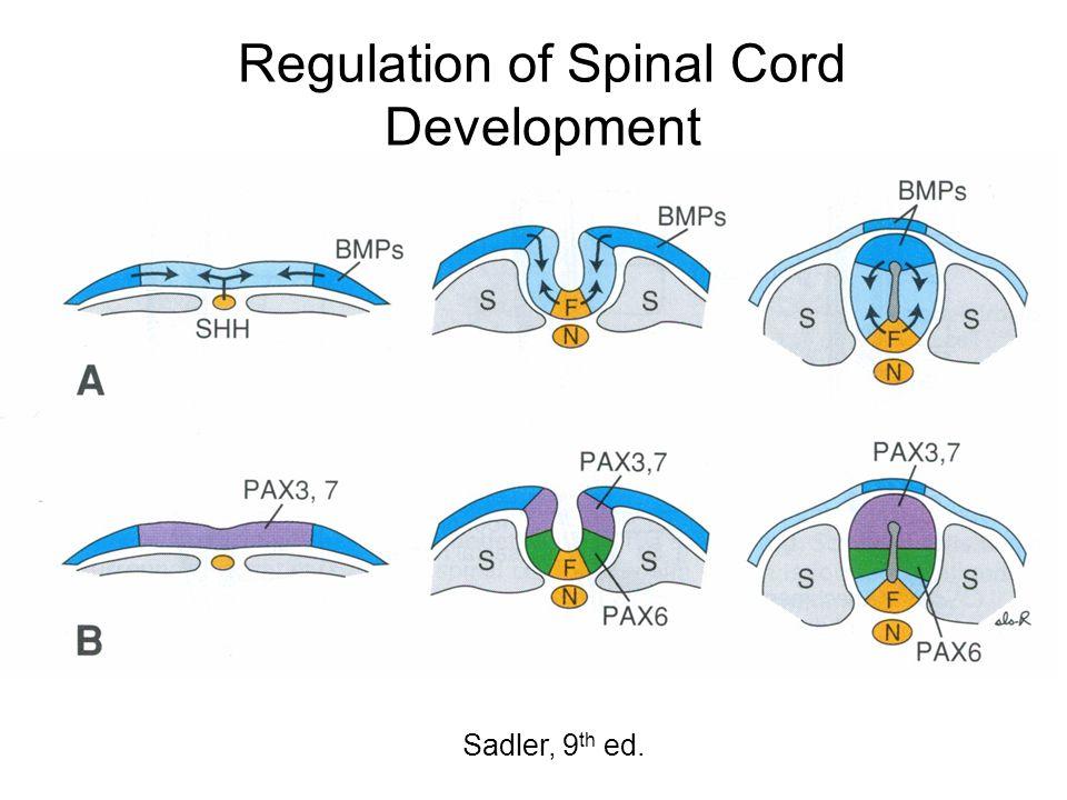Regulation of Spinal Cord Development Sadler, 9 th ed.