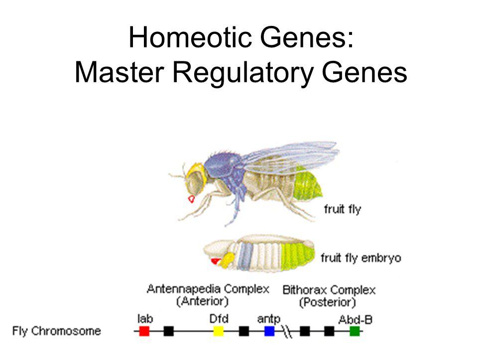 Homeotic Genes: Master Regulatory Genes
