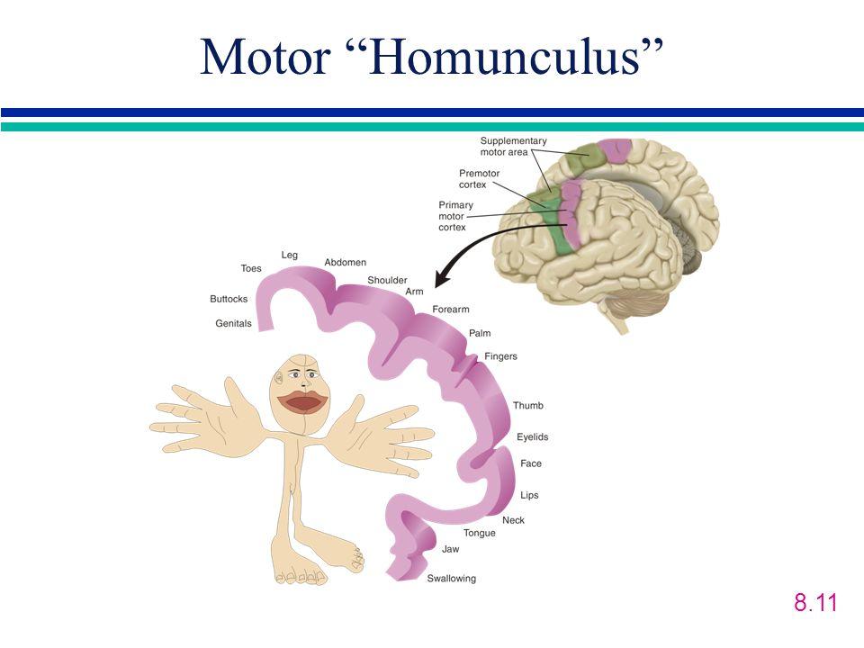 Motor Homunculus 8.11