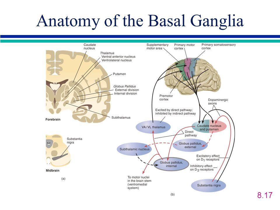 Anatomy of the Basal Ganglia 8.17