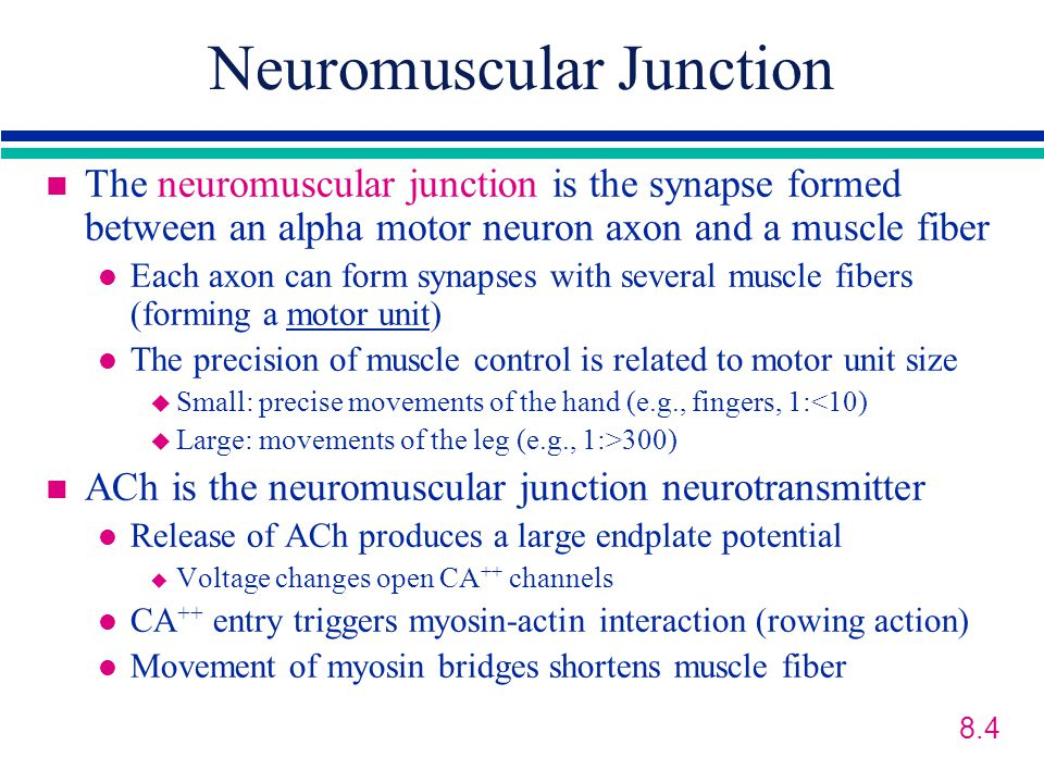 Neuromuscular Junction n The neuromuscular junction is the synapse formed between an alpha motor neuron axon and a muscle fiber l Each axon can form synapses with several muscle fibers (forming a motor unit) l The precision of muscle control is related to motor unit size u Small: precise movements of the hand (e.g., fingers, 1:<10) u Large: movements of the leg (e.g., 1:>300) n ACh is the neuromuscular junction neurotransmitter l Release of ACh produces a large endplate potential u Voltage changes open CA ++ channels l CA ++ entry triggers myosin-actin interaction (rowing action) l Movement of myosin bridges shortens muscle fiber 8.4