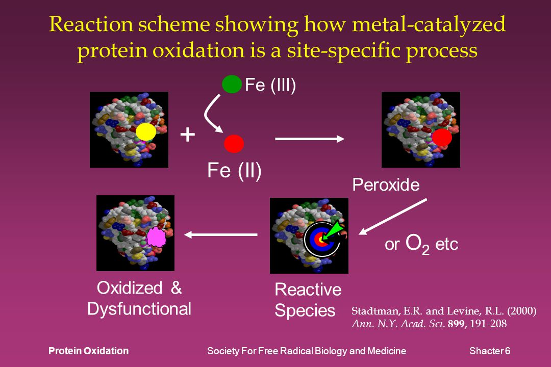 Reaction scheme showing how metal-catalyzed protein oxidation is a site-specific process Stadtman, E.R.