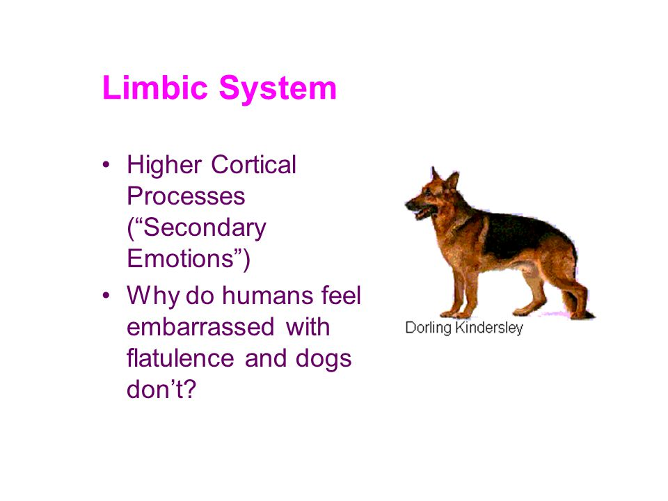 Limbic System Higher Cortical Processes ( Secondary Emotions ) Why do humans feel embarrassed with flatulence and dogs don't