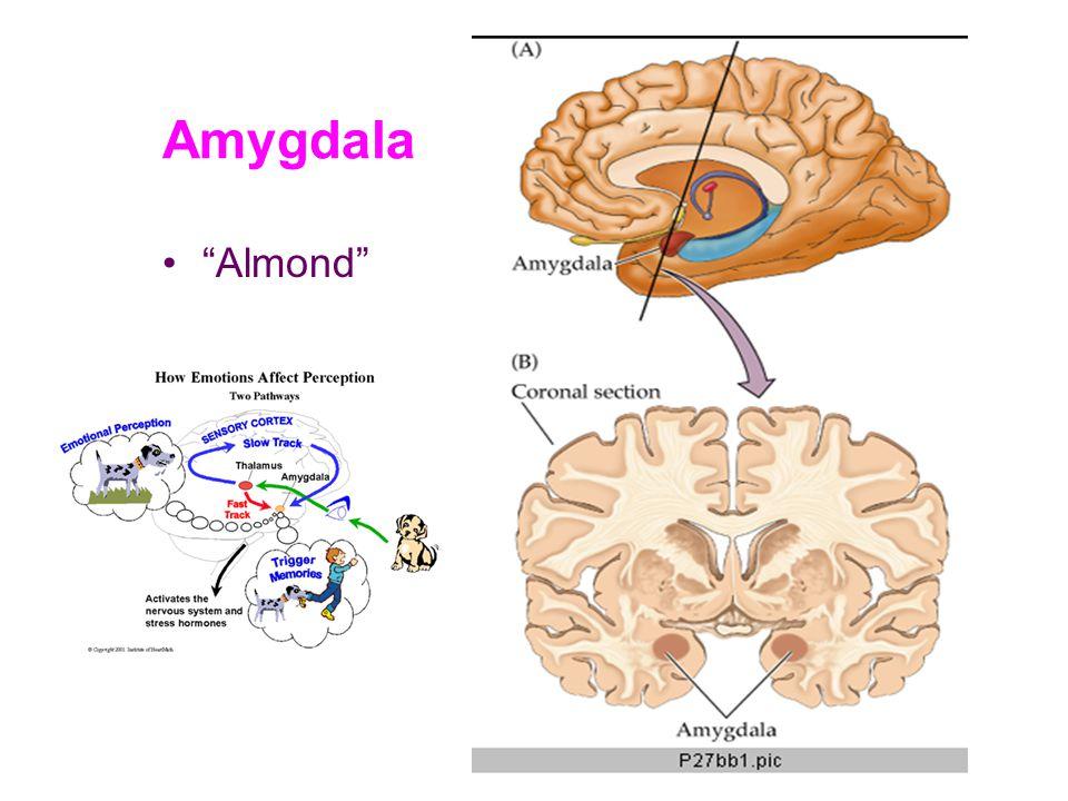 """Amygdala """"Almond"""""""