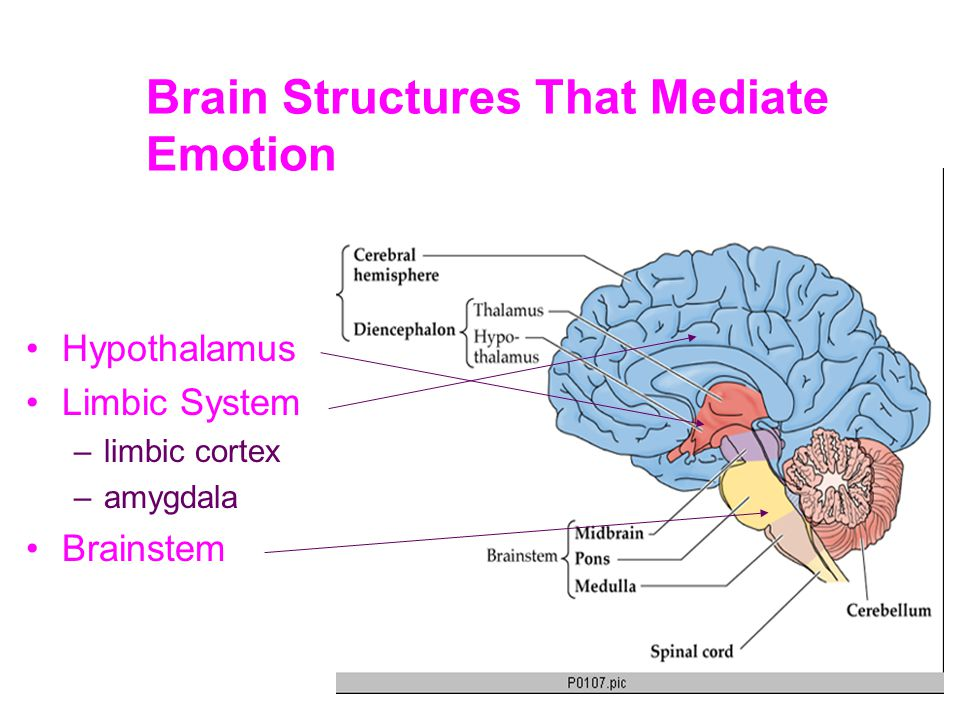 Brain Structures That Mediate Emotion Hypothalamus Limbic System –limbic cortex –amygdala Brainstem