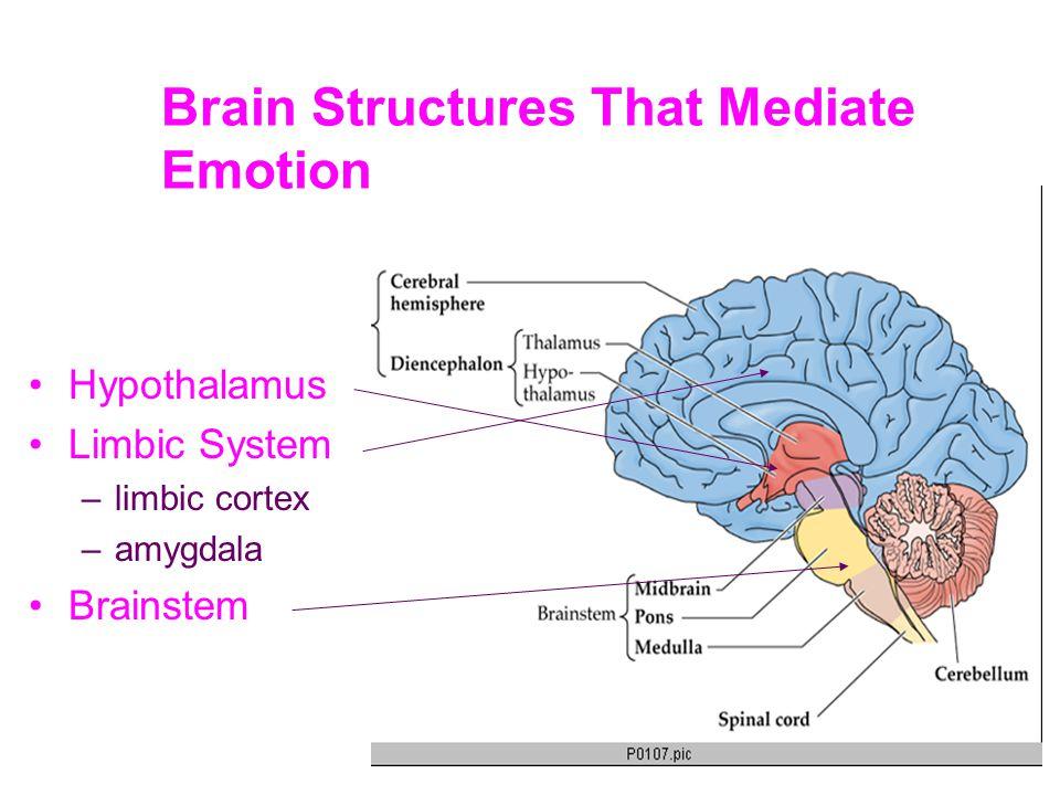 Hypothalamus (Under the thalamus) What is it.